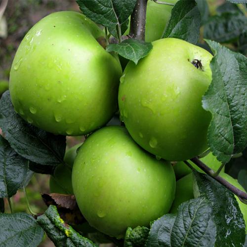 руках яблоня делишес спур описание фото отличие